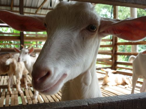 LA Dairy Goat Farm