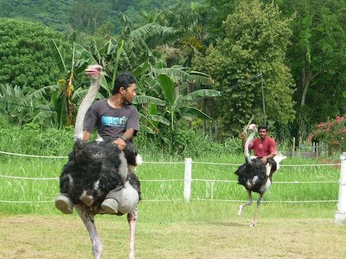 Ostrich Race
