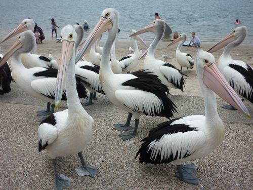 Pelicans in Labrador
