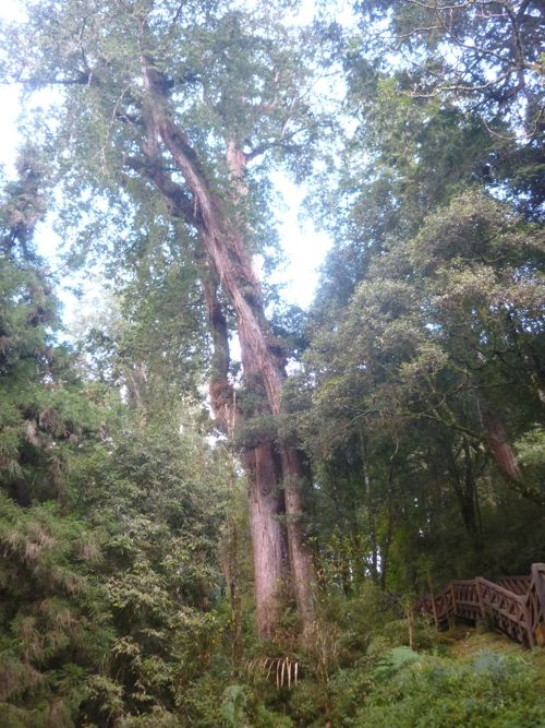 Alishan Cypress Tree
