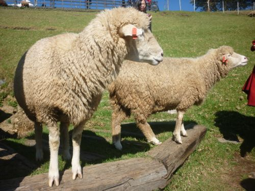 Cingjing Farm's Sheep