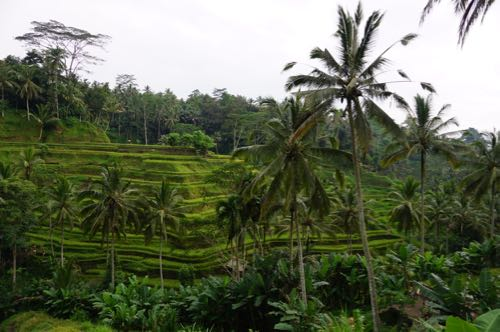Tegalallang rice terrace