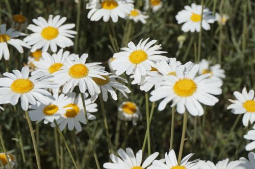 Pyrethrum - natural insecticide