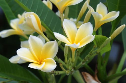 Bali's most loved flower: frangipani.