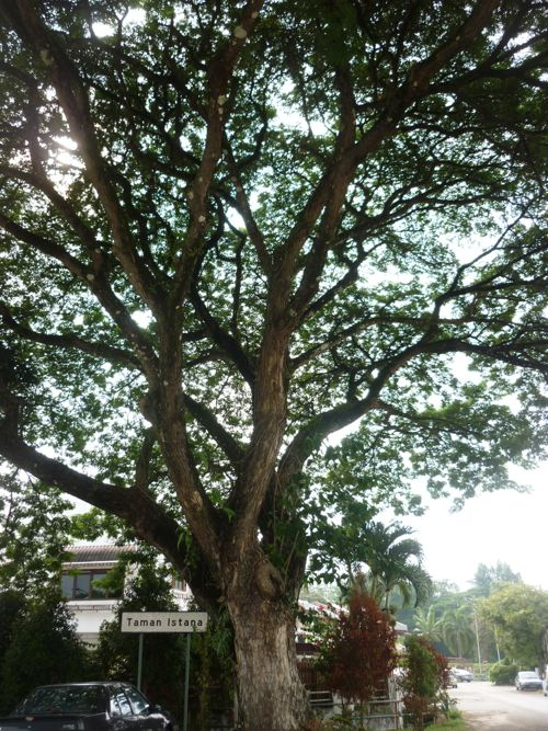Democrary Tree of Ipoh