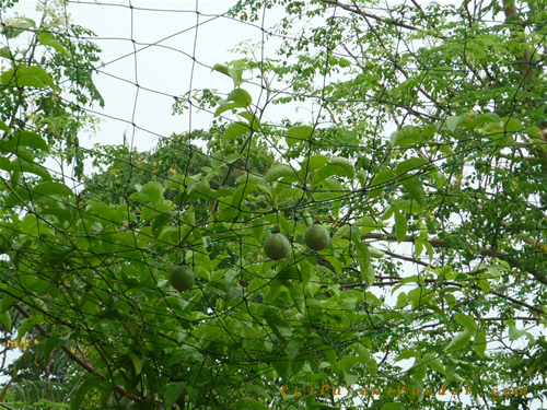 Mulberry Homestay - Passion Fruits