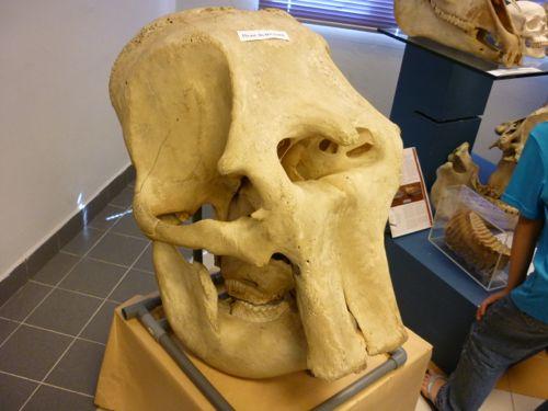 Museum of Zoology UM -Elephant Skull