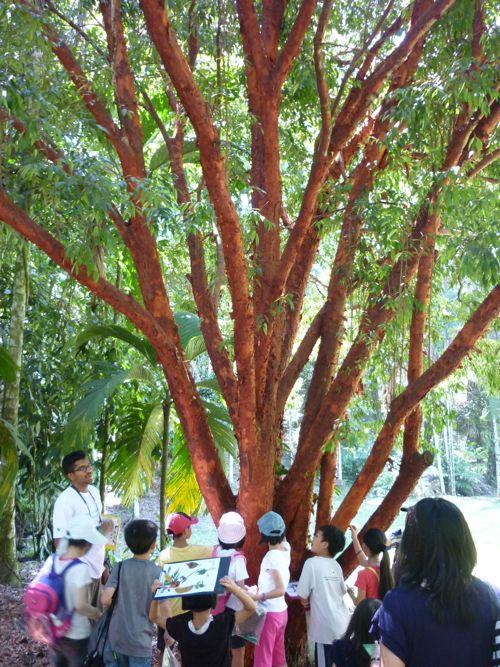 Rimba Ilmu - red tree
