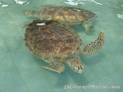 Segari Turtle Swimming